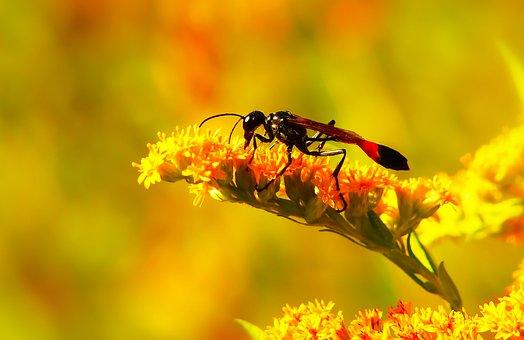 Grzebaczowate, Błonkówka, Insect, Antennae, Abdomen