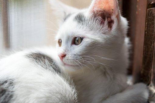 Cat, Kitten, Animal, Domino, Eyes, Cute, Is Watching