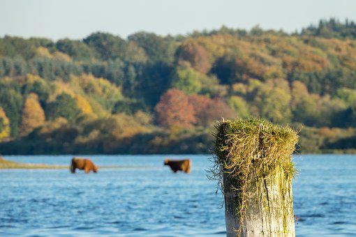 Cow, Cows, Lake, Water, Grass, Cattle, Animal