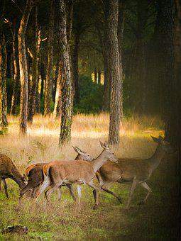 Roe Deer, Flock, Nature, Landscape, Wild, Animal World