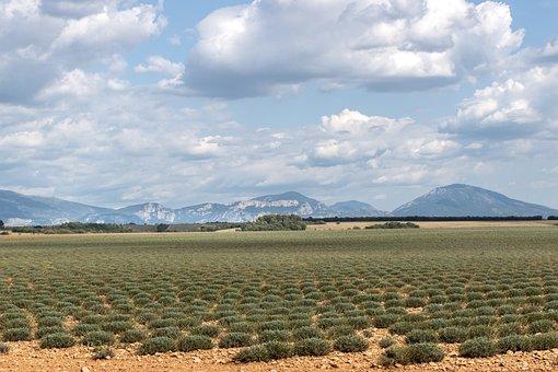 Valensole, Lavender Field, End Of Season, Harvest