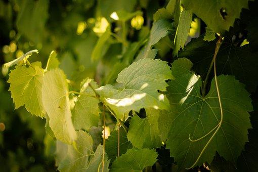 Vine, Leaves, Green, Grapevine, Bright, Garden, Plant