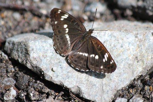 Lentochnykh, Limenitis, Butterfly, Lepidoptera