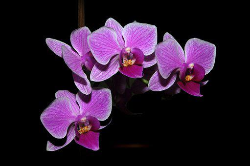 Orchids, Orchid, Orchids Roses, Flowers, Pink Flowers