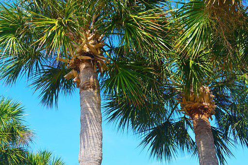 Palm Trees, Tropical, Sky, Nature, Green, Palm