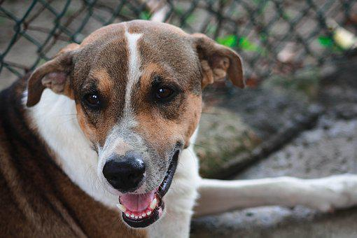 Dog, Pet, Animals, Portrait, Puppy, Adorable, Labrador