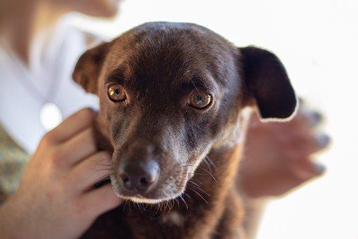 Dog, Portrait, An, Pet, Animal, Brown, Canine, Snout