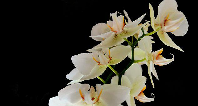 Orchid, Flowers, Nature, Orchids, Bud, Petals