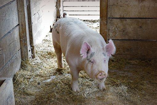 Pig, Hog, Farm