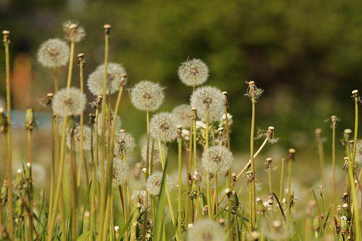 Dandelions, Furry, Fluffy Dandelions, Plants, Flowers