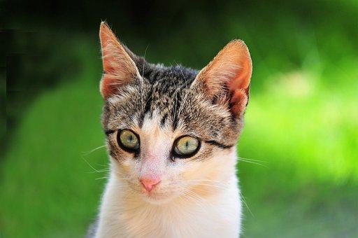 Cat, Eyes, Feline, Portrait, Whiskers, Head, Animal