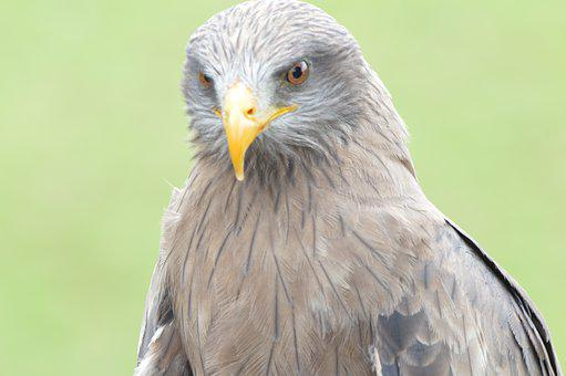 Bird, Raptor, Kite, Animal, Prey, Wildlife