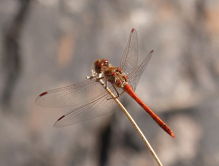Ibélula, Red Dragonfly, Branch, Detail, Winged Insect