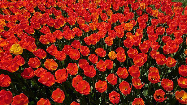 Tulips, Garden, Flower, Spring, Nature, Color, Red