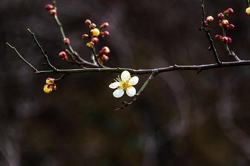 Plum, Spring Flowers, Republic Of Korea, Bright