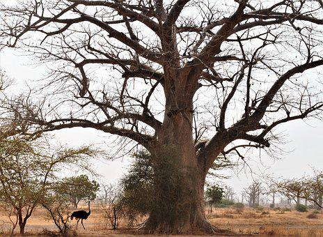 Tree, Majestic, Africa, Wild, King, Savannah, Ostrich