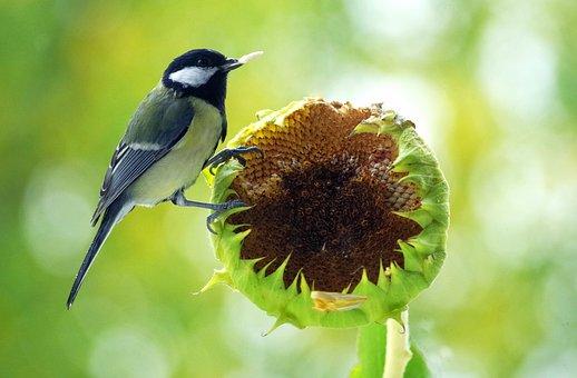 Tit, Food, Bird, Feed, Small Bird, Songbird
