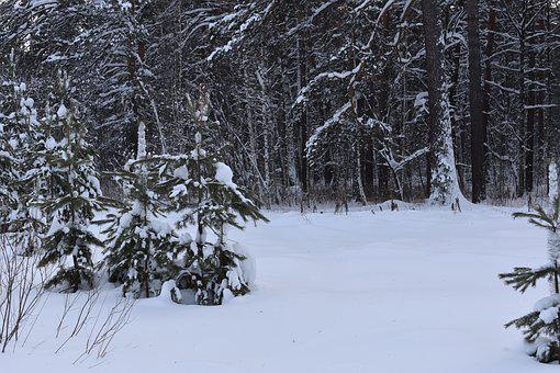 Winter, Snow, Forest, Pine, Siberia, Frost, Cold
