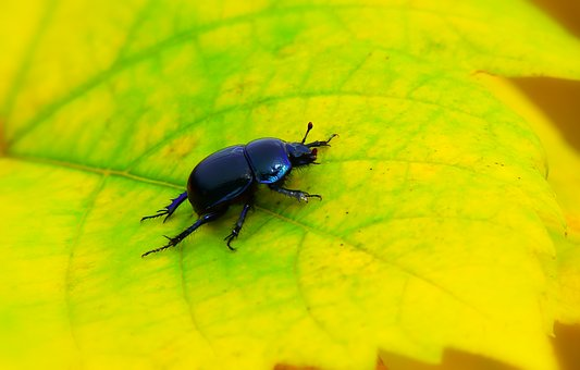 Forest Beetle, The Beetle, Leaf, Autumn