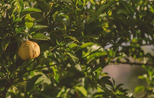 Lemon, Tree, Lemon Tree, Citrus, Grove, Green, Leaves