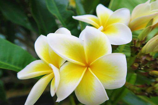 Tropical, Flower, Rose, Nature, Plant, Tree, Garden