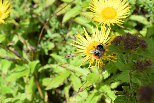 Valley Of Flowers, Valley, Bee, Showy Inula