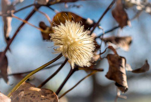 Seeds Was, Clematis, White, Fluffy, Hairy, Flying Seeds