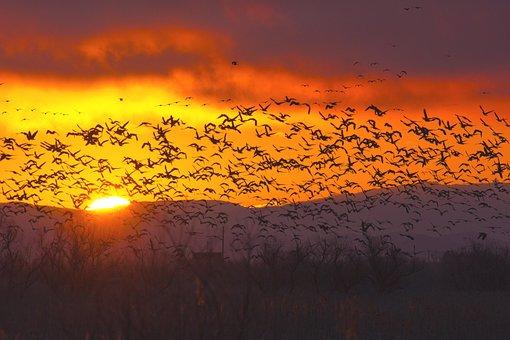Goose, Birds, Flock, Waterfowl, Natural, Wild Goose