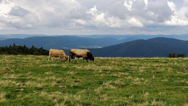 Field, Mountain, Cows, Alsace, Browse, Cloud, Nature