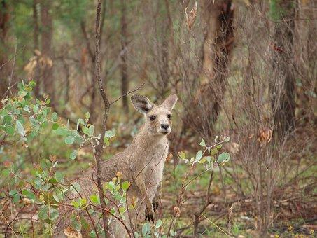 Kangaroo, Australia, Forest, Bush