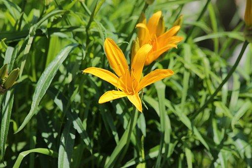 Saranka, Lily, Flower, Beautiful, Nature, Yellow