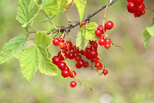 Currant, Berry, Nature, Leaves, Food, Red, Red Berry