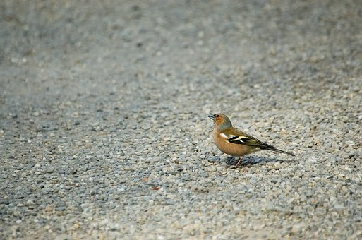 Chaffinch, Bird, Songbird, Males, Small, Animal
