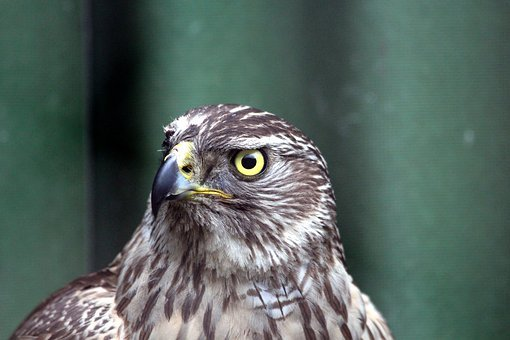 Lun, Marsh Harrier, Circus Aeruginosus, Bird, Hawk