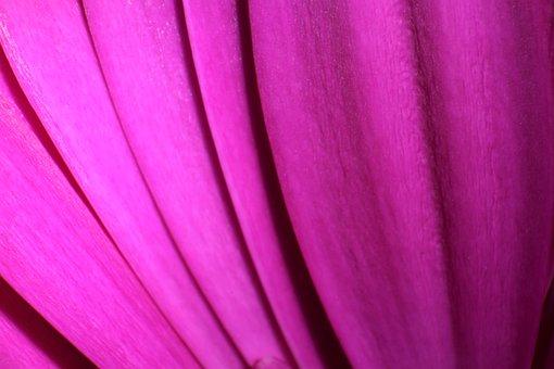 Flower, Petal, Macro, Bloom, Blossom, Nature, Pink