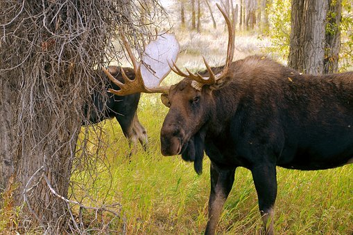 Two Wyoming Bull Moose, Bull, Moose, Elk, Animal