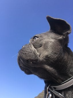 French Bulldog, Coco, Bulli, Sky, Black, Dog, Sweet