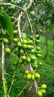 Plantation, Kerala, Nature, Coffee, Trees, Leaves