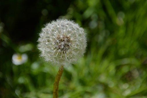 Dandelion, White, Plants, Flower, Nature, Spring, Seeds