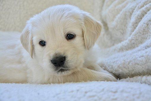 Dog, Puppy, Portrait, Golden Retriever, Pup, Doggy