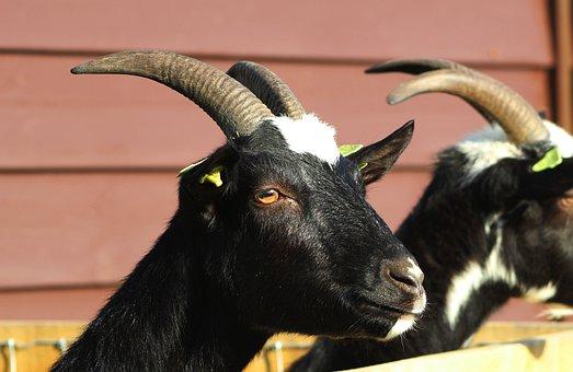 Goat, Black, Pet, Farm, Horns, Head, Curious, Mammals