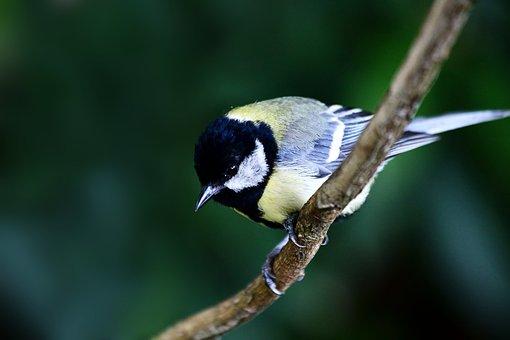Bird, Songbird, Feather, Nature, Bill, Meisse