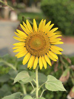 Garden, Flower, Sun Flower, Yellow Flower