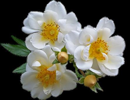 Rose, White, Flowers, Garden, Nature