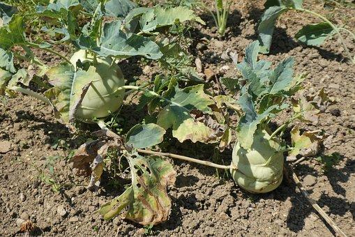 Kohlrabi, Vegetable, Garden, Food, Garden Plant, Fresh