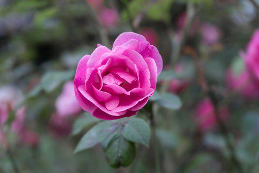 Pink, Rose, Garden, Romantic Romance Blossom, Romantic