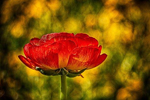 Rose, Orange, Yellow, Green, Flower, Blossom, Spring