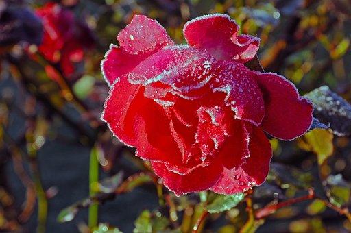 Rose, Blossom, Bloom, Hoarfrost, Frost, Garden