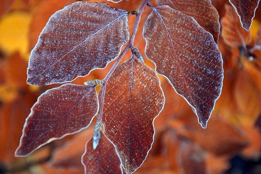 Leaves, Fall Leaves, Fall Foliage, Hornbeam