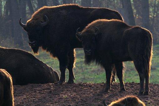 Wisent, Buffalo, Bison, Massive, Beef, Horns, Animal